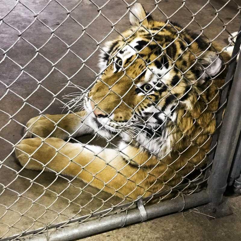 Cheyenne Mtn Zoo amur tiger 27712-7859